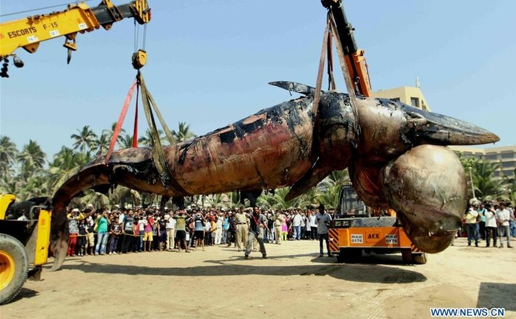 A nearly 40-feet-long dead Bryde's whale is lifted by a crane at Juhu Beach, one of the popular tourist destinations of Mumbai, India, on Jan. 29, 2016.