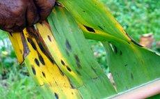 Man holds banana leaf affected by black sigatoka disease