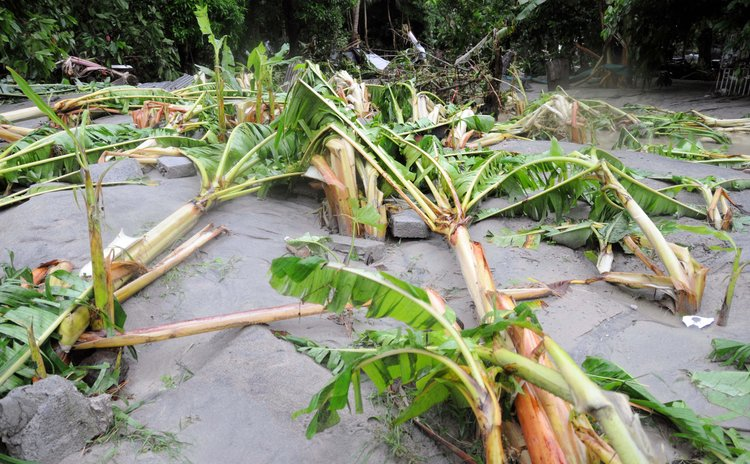 FILE PHOTO: Bananas destroyed by floods