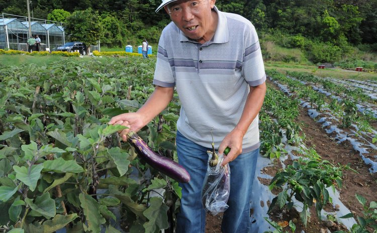 Chinese technician examines eggplant in eggplant-growing field of the Dominica-China Modern Agricultural Centre