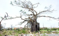 Tree at Botanic Gardens severely damaged by Hurricane Maria