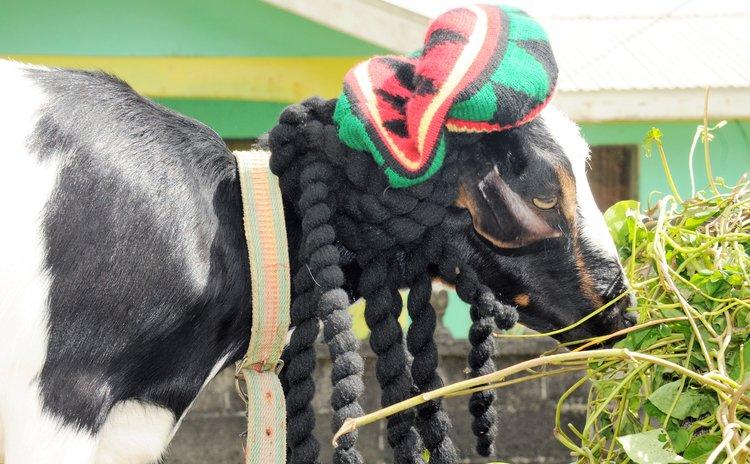 Dressed-up goat at Laudat