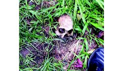Skull in the grass at the Roseau Public Cemetery