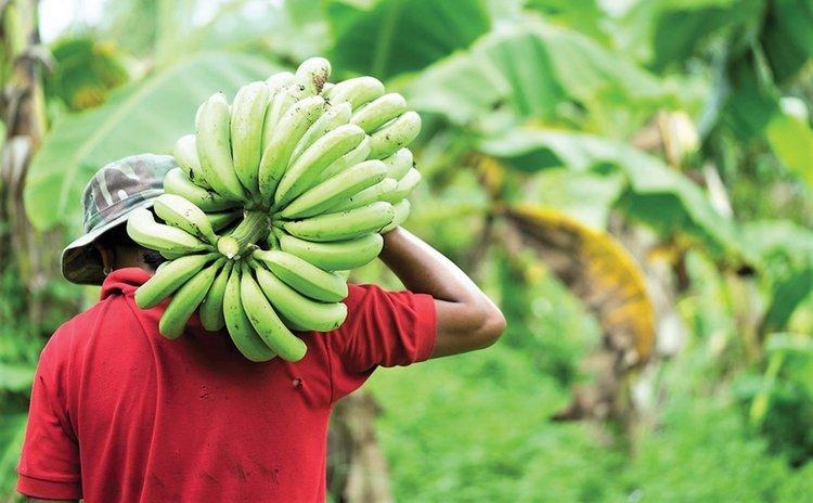 Man carries bunch of bananas