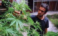 A man examines a marijuana plant