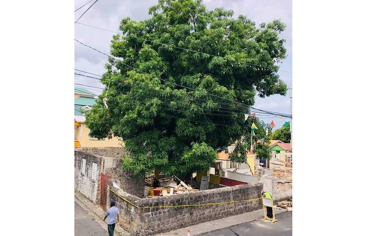 Large mango tree near Jean Rhys former home (Photo by Attainia Toulon)