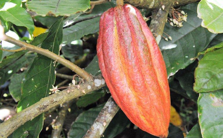 Mature Cocoa pod
