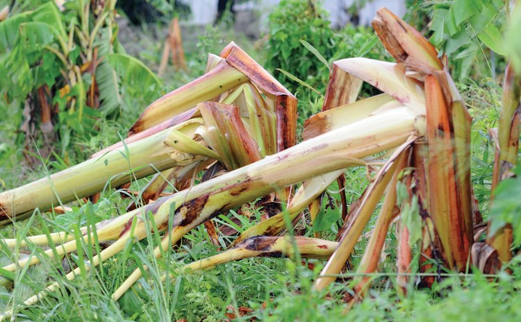 Plantain plants downed by TS Matthew