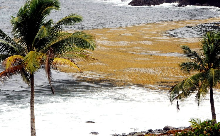 Sargassum seaweed at Good Hope, Dominica