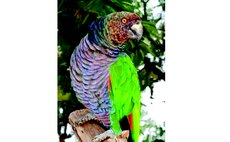Sisserou Parrot, Dominica's National Bird