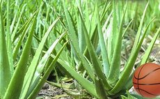 Aloes, an economic crop in the Soufriere Valley in the 1980s