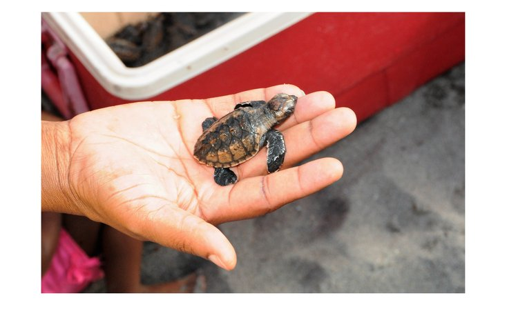 A turtle in the hand is worth two in the ocean? Not really