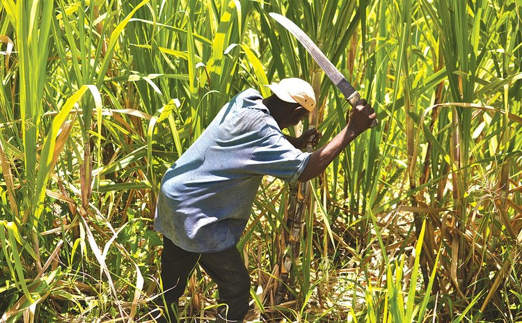 Cutting cane at Macoucherie estate