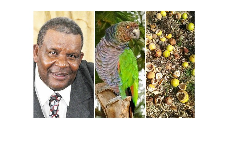 Cuthbert Vidal, Sisserou Parrot, centre, and fruit destroyed by birds
